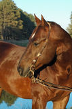 Quarter horse stallion. Red quarter horse stallion bending neck Royalty Free Stock Photography
