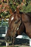 Quarter horse stallion. Head shot of quarter horse stallion Royalty Free Stock Photos