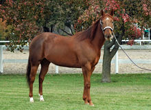 Quarter horse stallion. Against autum leaves Stock Photography