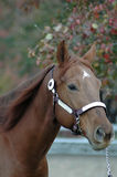 Quarter horse stallion. Head shot of quarter horse stallion against autumn leaves Stock Photography