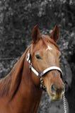 Quarter horse stallion. Head shot of quarter horse stallion on black and white background Stock Image