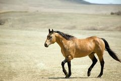 Quarter horse stallion. Quarter horse buckskin stallion trotting in pasture Royalty Free Stock Photos