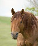 Quarter horse stallion. Red roan quarter horse stallion Royalty Free Stock Photography