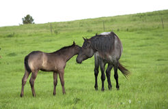 Quarter horse stallion and foal Royalty Free Stock Photo