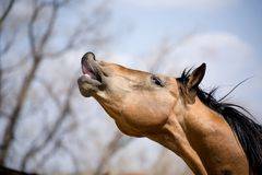 Quarter horse stallion sniffing royalty free stock photography