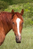 Quarter horse. Vertical photo of a quarter horse on a against a green pasture and grass background Stock Images