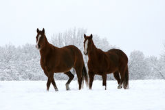 Quarter Horses. Snow White horse quarter brown ranch outdoors beauty perfection Royalty Free Stock Photos