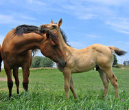 Quarter horses. Dun filly and a young colt Stock Photo