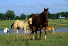 Quarter horses Stock Photography