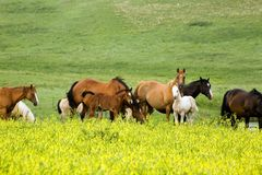 Quarter horses in clover Stock Images