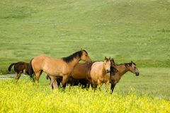 Quarter horses in clover Stock Image