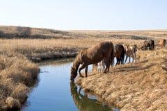 Quarter Horses Drinking Royalty Free Stock Photos