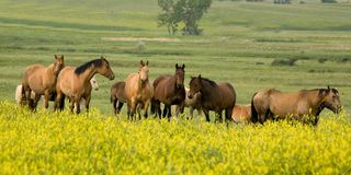 Quarter Horses In Clover Royalty Free Stock Image