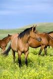 Quarter Horses In Clover Stock Photos