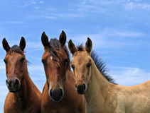 Quarter horses in the pasture. Old mare, young filly, and a newborn colt Stock Images