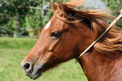Quarter Pony Portrait Royalty Free Stock Photography