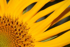 A quarter of a sunflower Royalty Free Stock Photo