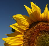 Quarter of the sunflower isolated on the clear blue sky Royalty Free Stock Image