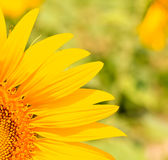 A quarter of sunflower Stock Images