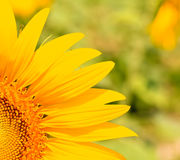 A quarter of sunflower Royalty Free Stock Photography