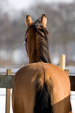 Quarterhorse Stock Photo