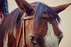 Quarterhorse Royalty-vrije Stock Afbeeldingen
