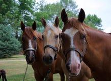 Quarterhorse Lizenzfreies Stockbild