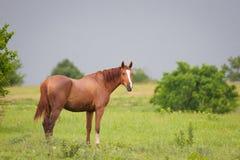 Quarterhorse in der Wiese Lizenzfreie Stockfotografie