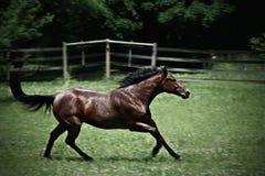 Quarterhorse in een weiland Stock Afbeelding