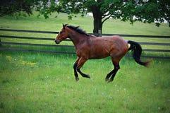 Quarterhorse het lopen Royalty-vrije Stock Afbeelding