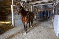 Quarterhorse no estábulo imagens de stock