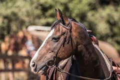 Quarterhorse-Profil-Abschluss oben Lizenzfreies Stockfoto