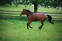 A quarterhorse running Royalty Free Stock Image