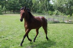 Quarterhorse troting twords camera Stock Photo
