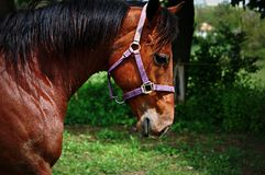 Quarterhorse walking Royalty Free Stock Images