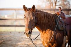 Quarterhorseporträt Stockfoto