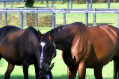 Quarterhorses Grazing Royalty Free Stock Photography