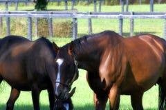 Quarterhorses Grazing. A quarterhorses graze in a pasture in northeast Ohio, USA royalty free stock photography