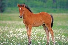 Quarterhorseveulen Stock Afbeelding