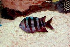 Quartermaster-sergeant fish. Close-up Royalty Free Stock Photos