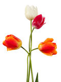 Quartet. Tulips. Four flowers isolated on white Royalty Free Stock Photography