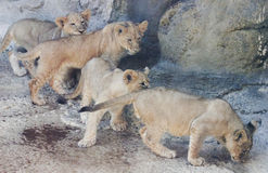 A Quartet of Curious Lion Cubs Royalty Free Stock Image