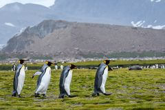 Quartet du Roi Penguins marchant à travers la plaine de Salisbury, la Géorgie du sud images libres de droits