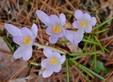 Quartet in mauve arising from pine straw. A delicate quartet of mauve crocus blossoms stand serenely above the contrasting pine straw and radiating green striped Royalty Free Stock Image