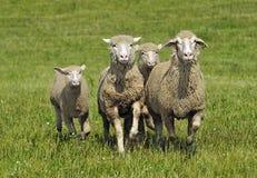 Free Quartet Of Running Sheep Stock Photo - 8119000