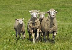 Quartet of Running Sheep Stock Photo