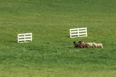 Quartet of Sheep Ovis aries Run Towards Gates Stock Photos