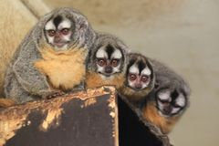 Southern Bolivian Night monkey. The quartet of Southern Bolivian Night monkey Stock Photos
