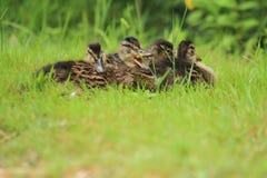 Quartetto di giovani anatre selvatiche Fotografia Stock Libera da Diritti