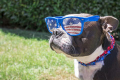 Quarto vestindo do cão de Boston Terrier de óculos de sol e de colar de julho Fotos de Stock
